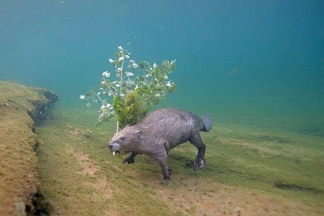 Berang-berang Eurasian (Castor) sedang membawa makanan