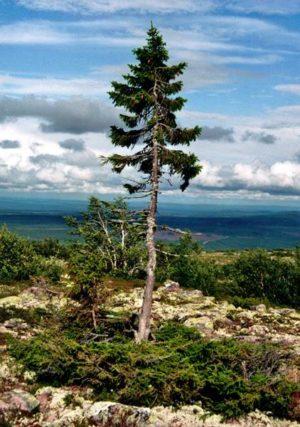 Pohon Tertua Di Dunia : Lahir Saat Inggris Masih Bagian Dari Benua Eropa