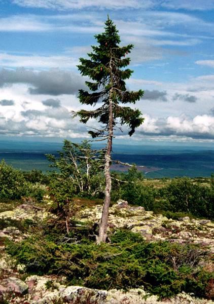 pohon tertua di muka bumi - old tjikko