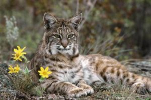 Iberian Linx : Kucing Cantik Yang Terancam Punah