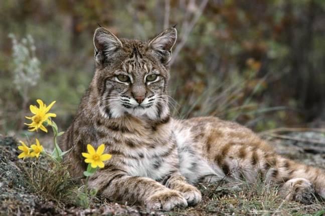 Iberian Lynx - Kucing Cantik Yang Terancam Punah 2