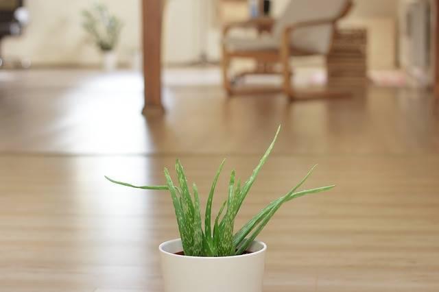 aloe vera atau lidah buaya penghias ruangan yang bisa membersihkan udara