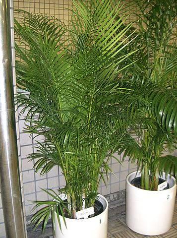 tanaman hias pembersih udara dalam ruangan - Bamboo palm Chamaedorea sefritzii