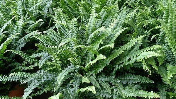 tanaman hias pembersih udara dalam ruangan - Boston Ferns - Tanaman Pakis B