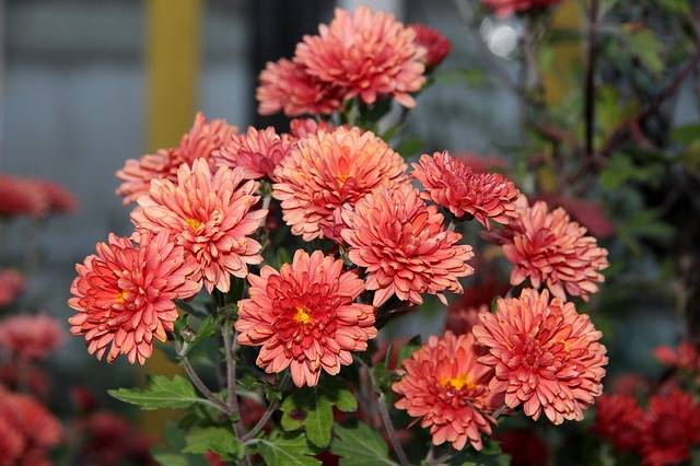 tanaman hias pembersih udara dalam ruangan - Bunga Krisan atau Chrysanthemum