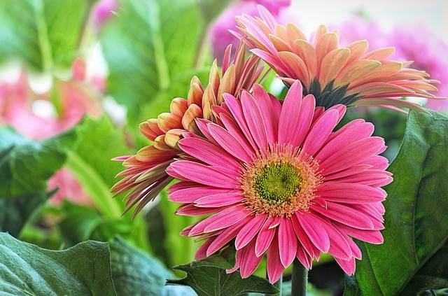 tanaman hias pembersih udara dalam ruangan - Gerber Daisy atau Hebras