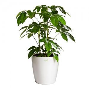 tanaman hias pembersih udara dalam ruangan - Schefflera actinophylla