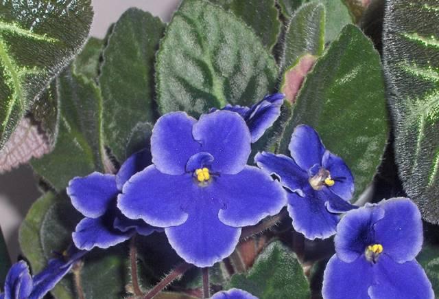 tanaman hias pembersih udara dalam ruangan - african violets a