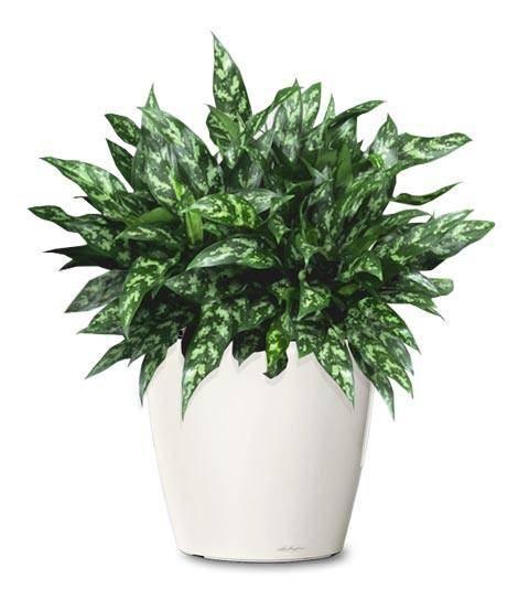 tanaman hias pembersih udara dalam ruangan - aglaonema atau sri rejeki chinese evergreen A