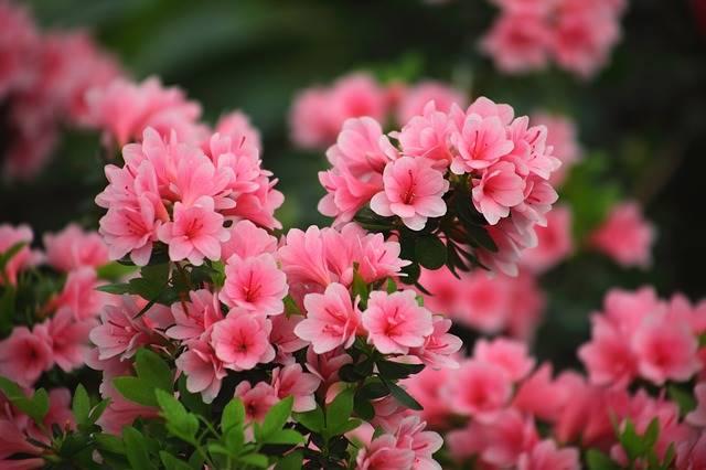 tanaman hias pembersih udara dalam ruangan azalea Rhododendron simsii