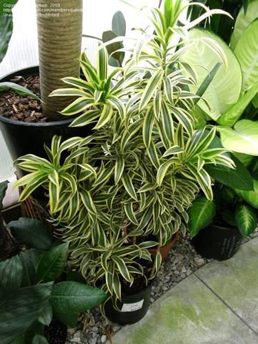 dracaena reflexa si lagu dari india tanaman pembersih udara ruangan