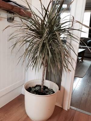 tanaman hias pembersih udara dalam ruangan - dragon tree pohon naga dracaena marginata A
