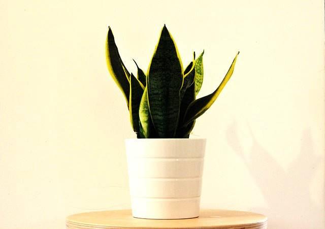 tumbuhan hias pembersih udara dalam ruangan - sansevieria trifasciata laurentii lidah mertua