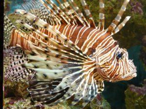 Lionfish (Ikan Singa) : Cantik TapI Beracun