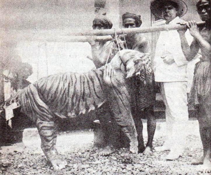 harimau Bali yang ditembak M Zanveld 1920