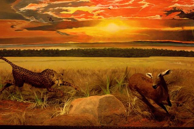 Diorama Padang Rumput Museum Satwa Jatim Park001 - cheetah berburu mangsa