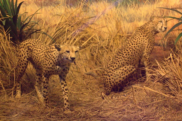 Diorama Padang Rumput Museum Satwa Jatim Park _ Kawanan Cheetah