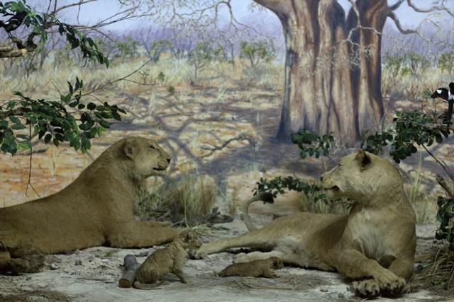Diorama Padang Rumput Museum Satwa Jatim Park - Kawanan Singa Betina