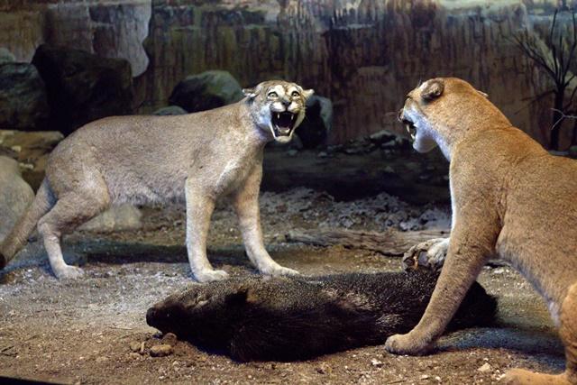 Diorama Padang Rumput Museum Satwa Jatim Park Singa Betina Bertarung