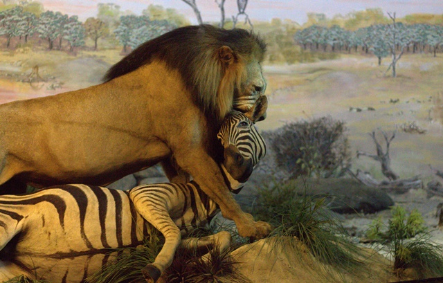 Diorama Padang Rumput Museum Satwa Jatim Park - Singa Jantan Dan Mangsanya