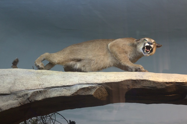 Diorama satwa gunung Museum Satwa Jatim Park Puma/Jaguar
