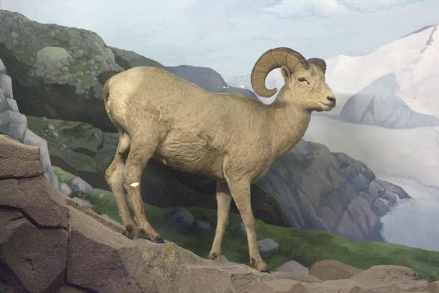 Diorama satwa gunung Museum Satwa Jatim Park Kambing Gunung