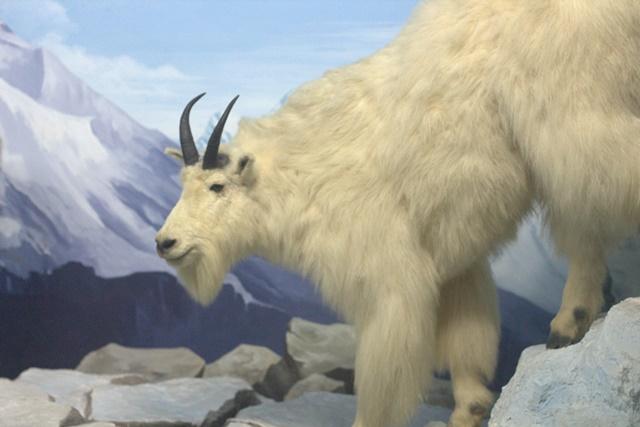 Diorama satwa gunung Museum Satwa Jatim Park - Kambing Gunung Rocky Mountain