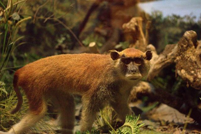 Diorama satwa hutan Museum Satwa Jatim Park Malang - Kera