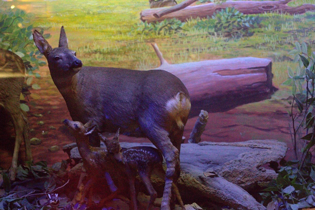 Diorama satwa hutan Museum Satwa Jatim Park Malang - Kancil
