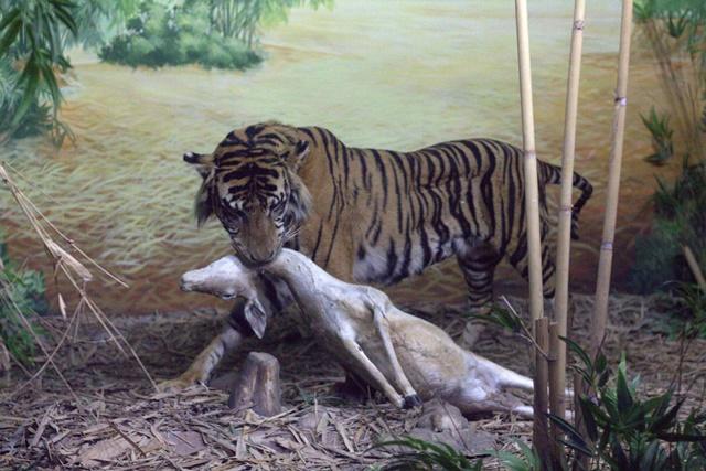 Diorama satwa hutan Museum Satwa Jatim Park Malang - Harimau Dan Mangsanya