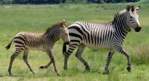 Zebra Unik Motif Polka Dot Lahir di Kenya