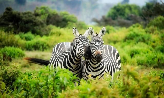 Fungsi Belang Hitam Putih Pada Zebra