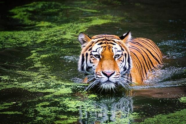 Hari Harimau Internasional 29 Juli