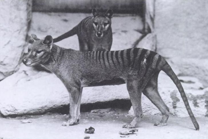 Harimau Tasmania - Memiliki Loreng Dan Kantung 2